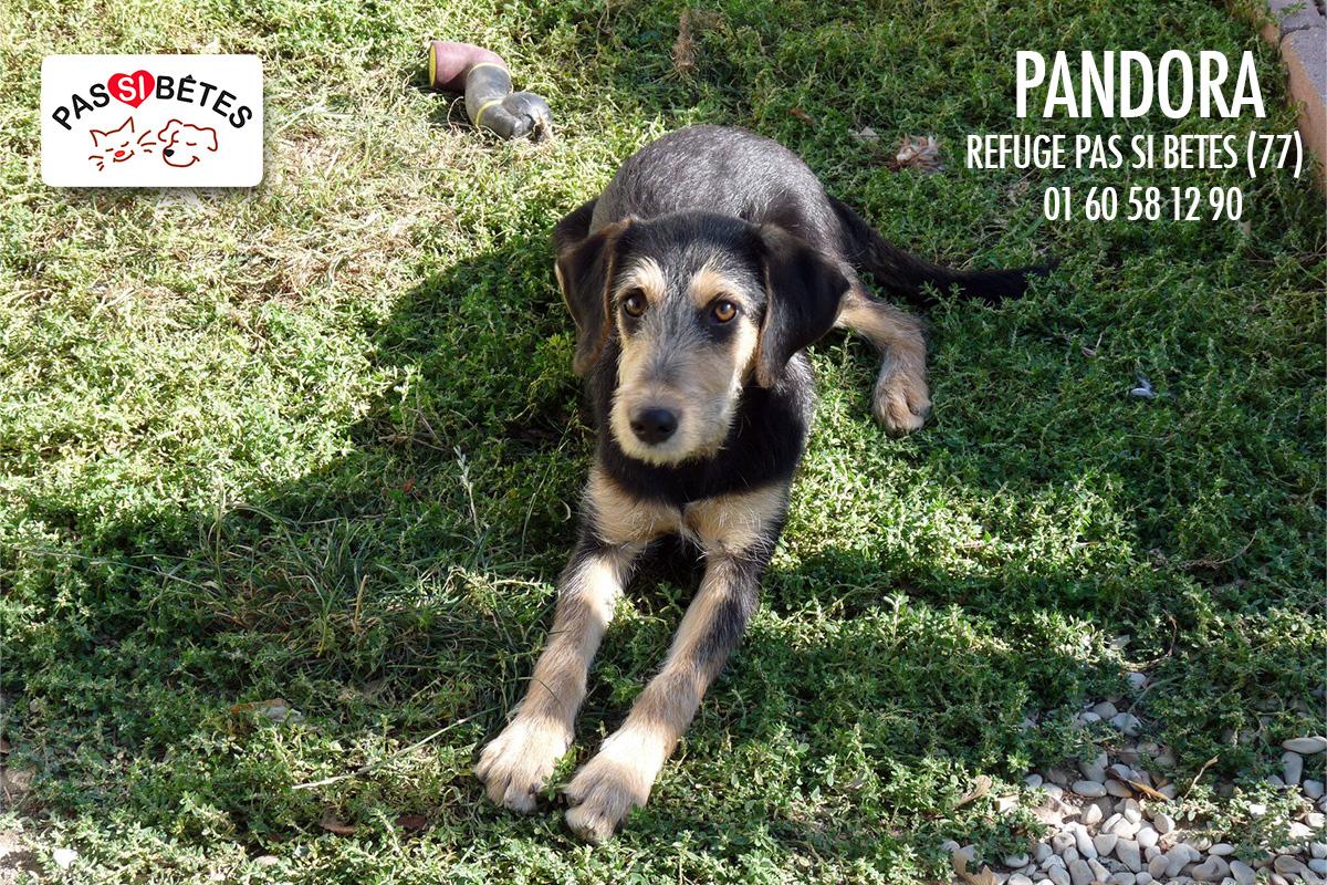 PANDORA - x teckel  2 ans - Refuge pas si betes à Cutrelles (77) Psbpandora